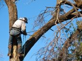 stock photo of elm  - Arborist climbs up giant damage Elm tree to fasten a safety line and begin cutting - JPG