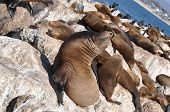 image of sea lion  - Sea lions on the rocks in  Monterey - JPG