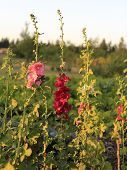 image of hollyhock  - Pink Hollyhocks on the farm during sunset - JPG
