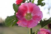 foto of hollyhock  - Pink Hollyhocks on the farm during sunset - JPG