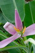 Pink Banana Flower On Banana Tree