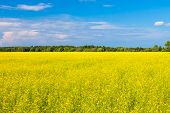stock photo of rape-seed  - rape seed field with farm house and sky - JPG