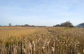 picture of bulrushes  - Bulrush in a field with reed in winter - JPG