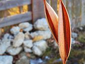 picture of cocoon tree  - Hollow leaves dried up perfectly for us to see.