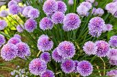 stock photo of chives  - chive flowers - JPG