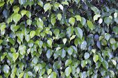 pic of oblong  - Dark and medium green oblong leaves of an evergreen ficus shrub seen close up on a sunny day outside in Florida - JPG