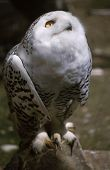 stock photo of owl eyes  - Portrait of a Snowy owl looking up with its yellow eye - JPG
