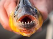 picture of piranha  - Colse - JPG