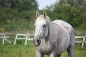 Beautiful Gray Horse Portrait In Summer
