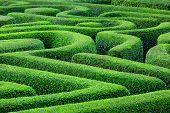 foto of maze  - Green plant maze - JPG