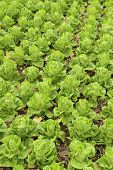 foto of butter-lettuce  - Butter head Lettuce vegetable in the farm - JPG