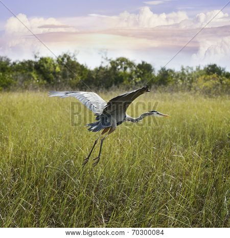 Great Blue Heron In Flight Over Wetland