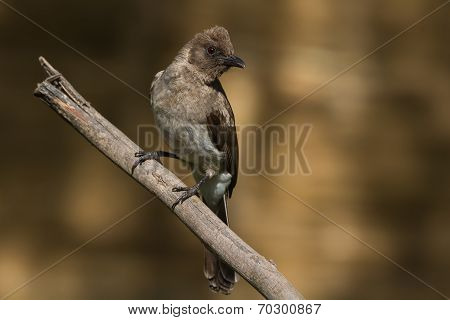 A Common Bulbul (pycnonotus Barbatus) Perched On A Branch
