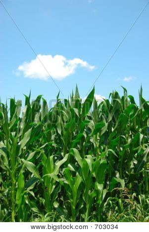 Corn Plants Sky
