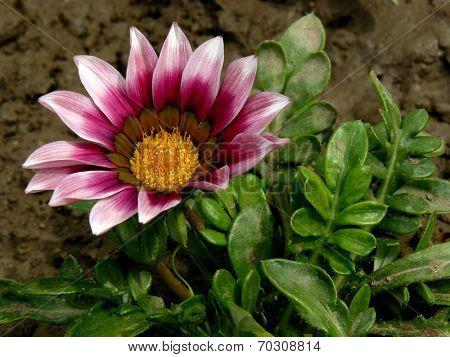 gazania plant fragment with flower