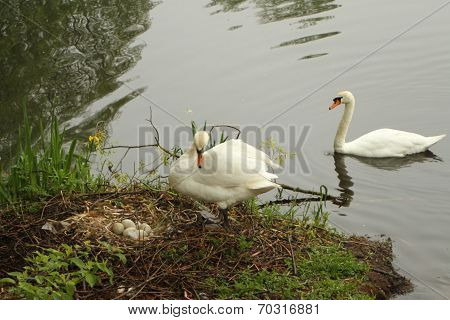 Pair of wild swans and nest of eggs