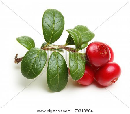 Forest wild berry cowberry with leaves isolated.