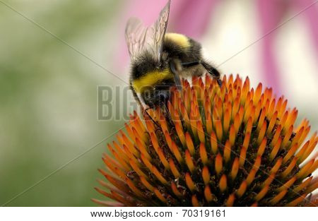 Bumblebee on a big flower