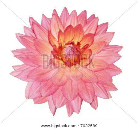 einzelne Dahlia Blume