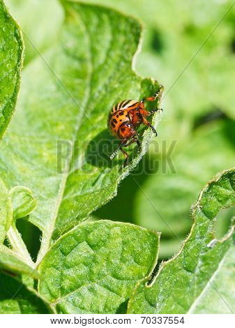 Colorado Potato Beetle Eats Potatoes Leaves