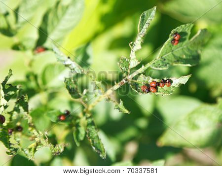 Colorado Potato Beetle Caterpillar Eats Potatoes
