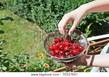 Girl Eats Ripe Red Sweet Cherries