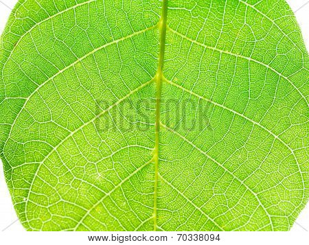 Green Leaf Of Walnut Tree Close Up