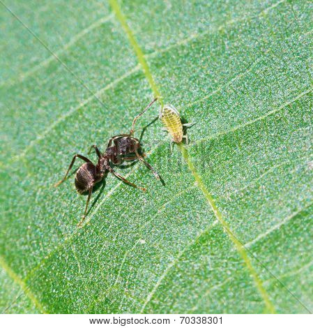 Ant Tending One Aphid On Leaf Of Walnut Tree