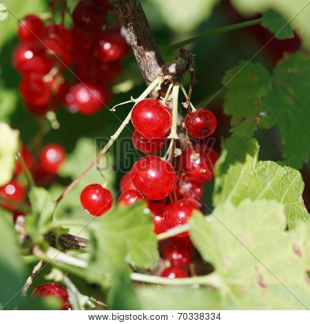 Redcurrant Berries Close Up In Green Leaves