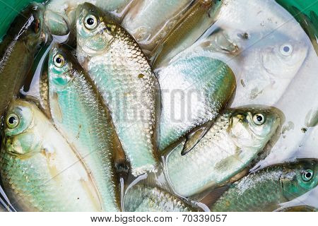 Haul Of Small Freshwater Fishes In Green Bucket