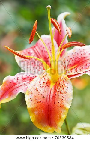 Head Of Bloom Pink Tiger Lily Close Up
