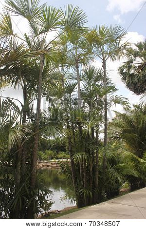 A view to several palms and a pond behind them in the Nong Nooch tropical botanic garden near Pattay