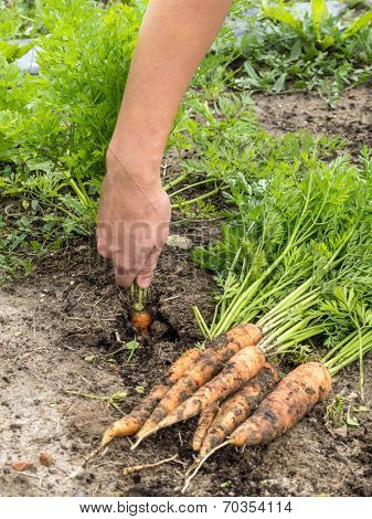 Closeup of female gardener's hand uprooting fresh carrot from her vegetable yard