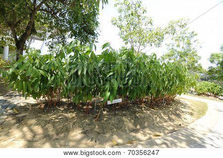 Curcuma Zanthorrhiza aka Temulawak