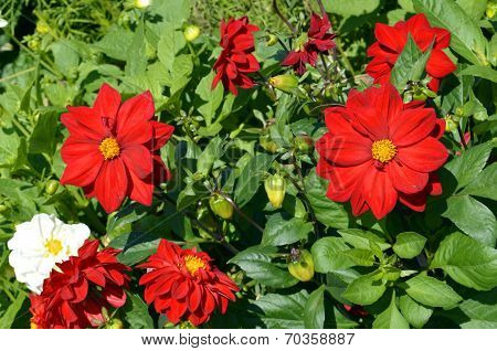 Dahlia RED DANDY