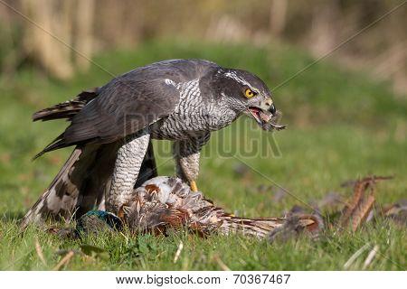 Goshawk Enjoying a Meal