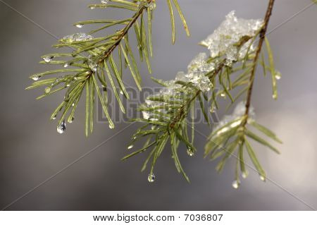Pine Needles and Snowmelt