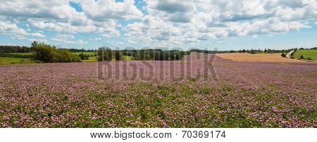 Panorama Of Clover Flowers In Bloom