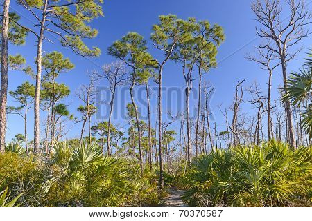 Trail Through Slash Pines In The Tropics