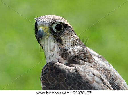 Peregrine Falcon With Very Attentive Gaze