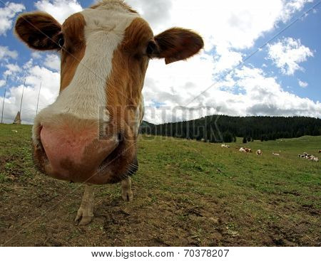 Amazing Cow Muzzle Photographed With Fisheye Lens