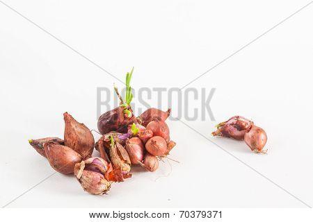 Moldy Onions