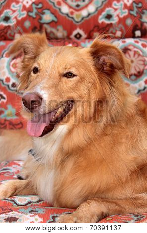 A Smiling and Happy Shetland Sheepdog - Golden Retriever dog sits on a lounge chair outside in the summer sun enjoying her day at a Doggie Resort while her owners are on vacation.
