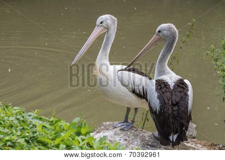 Two white pelicans standing together  (pelecanus onocrotalus)