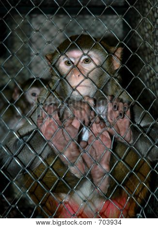 Monkey In Tha Cage