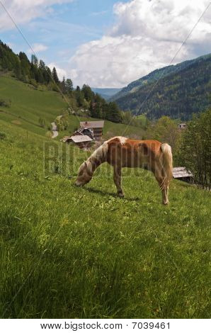 Haflinger Horse Feeding In Alpes
