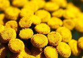 stock photo of tansy  - Detailed macro photo of blooming Tansy  - JPG