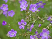 pic of geranium  - Wood cranesbill - JPG