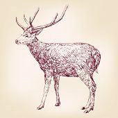 stock photo of horny  - Deer hand drawn vector llustration realistic sketch - JPG