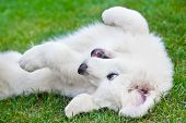 picture of puppy eyes  - Cute white puppy dog playing on grass - JPG